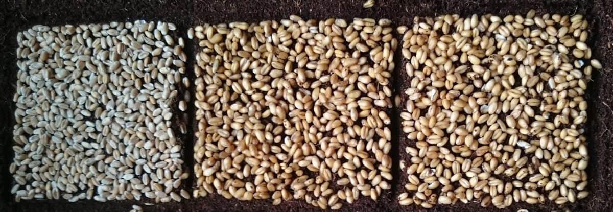 Weizengras anbauen Saatgut