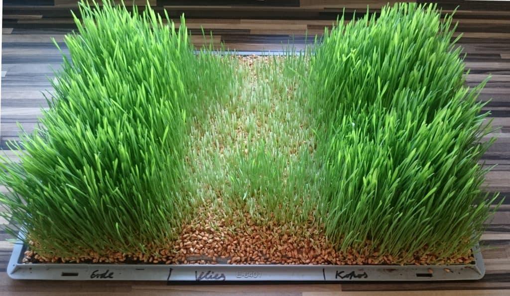 Weizengras anbauen auf Erde, Vlies und Kokussubstrat