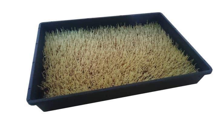 Weizengras anbauen nach 3 Tagen