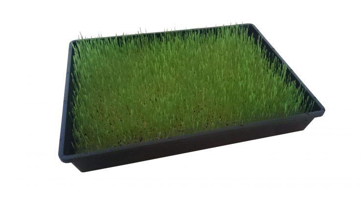 Weizengras wachstum 4 Tage