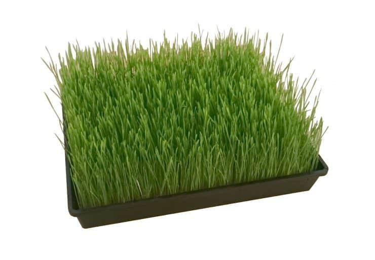 Weizengras anbauen . So sieht das nach 9 Tagen aus