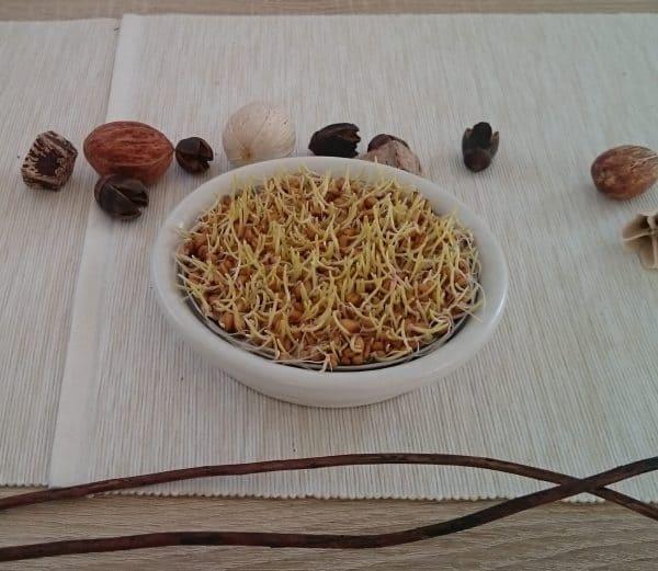Weizengras anbauen ohne Erde Tag 3
