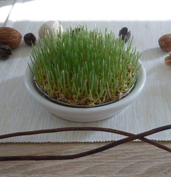 Weizengras anbauen ohne Erde Tag 5