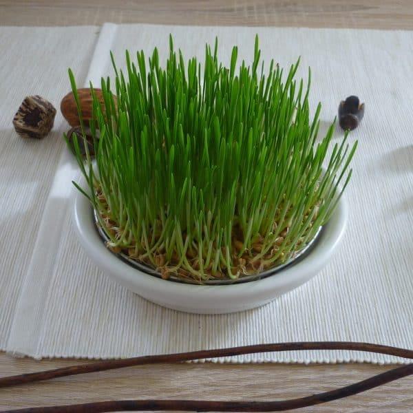 Weizengras anbauen ohne Erde Tag 6