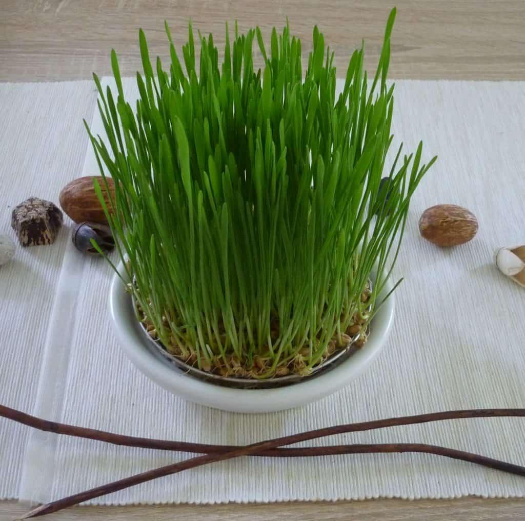 Weizengras anbauen ohne Erde Tag 7