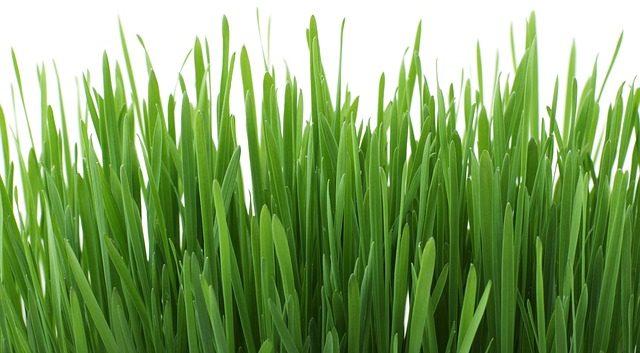Weizengras ernten