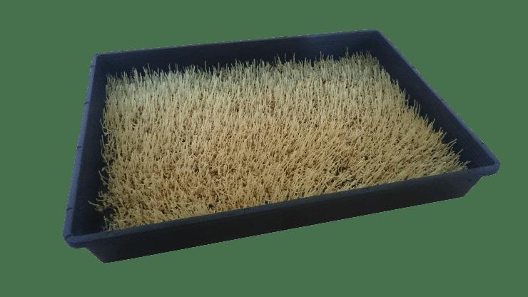 Weizengras nach 3 Tagen