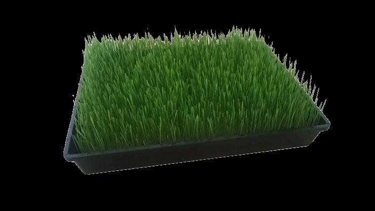 Weizengras nach 5 Tagen