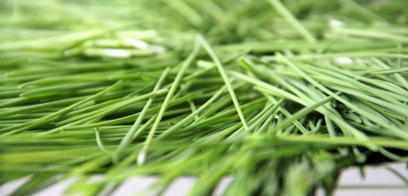Weizengras frisch auf Silberteller