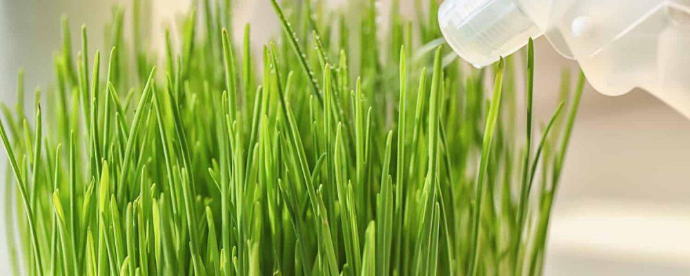 Weizengras Sprühflasche Wasser Zerstäuber